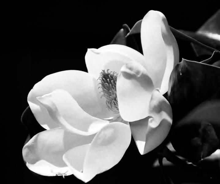 Michael e robinson photography black white magnolia blossom mightylinksfo